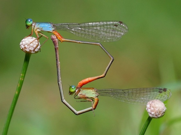 Dragonflies in the middle of mating