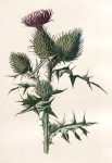 ZP_a nineteenth century illustration_Spear plume thistle or Cirsium vulgare which was up until the middle ages the original native Scotch Thistle before the arrival of the tougher spinier showier Onopordumacanthium
