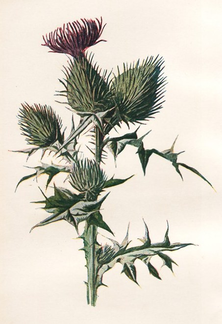 ZP_A nineteenth-century illustration, Spear-plume thistle or Cirsium vulgare, which was the original native Scotch Thistle until the arrival in the middle ages of the tougher, spinier and more impressive Onopordum acanthium.