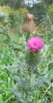 ZP_Onopordum acanthium_informally known as Scotch Thistle with wasp_Toronto,Canada