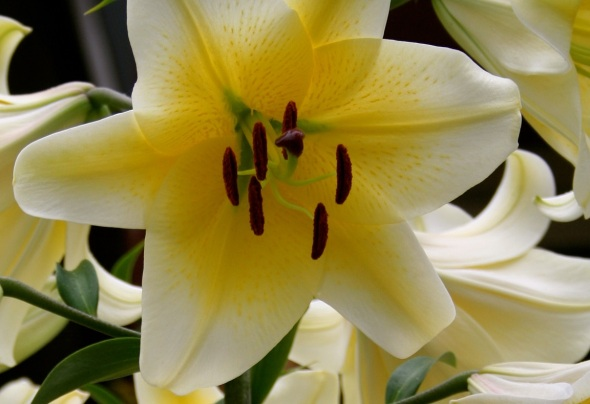 Lilies in Toronto 2_photograph by Elisabeth Springate