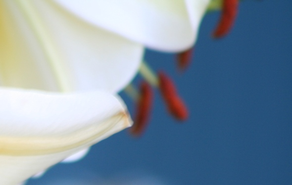 Lilies in Toronto 4_photograph by Elisabeth Springate