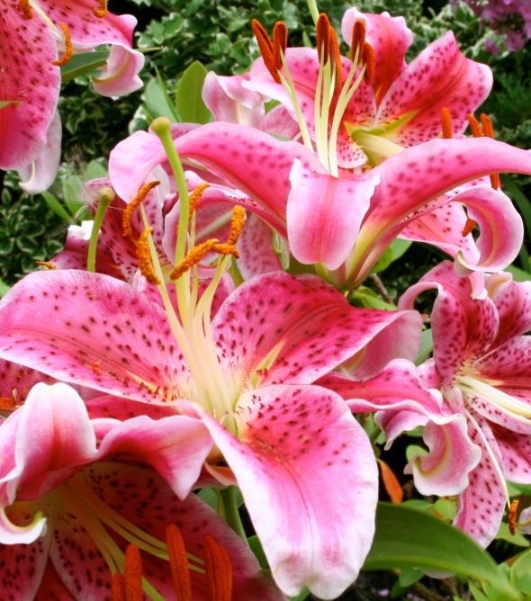Lilies in Toronto 5_photograph by Elisabeth Springate