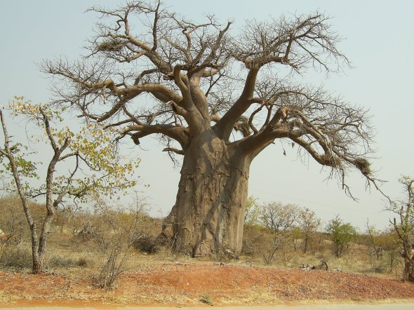 ZP_A Baobab tree in South Africa during the dry season when Baobabs shed their leaves_Un arbre Baobab Za pendant la saison sèche en Afrique du Sud