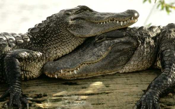 Crocodiles at rest