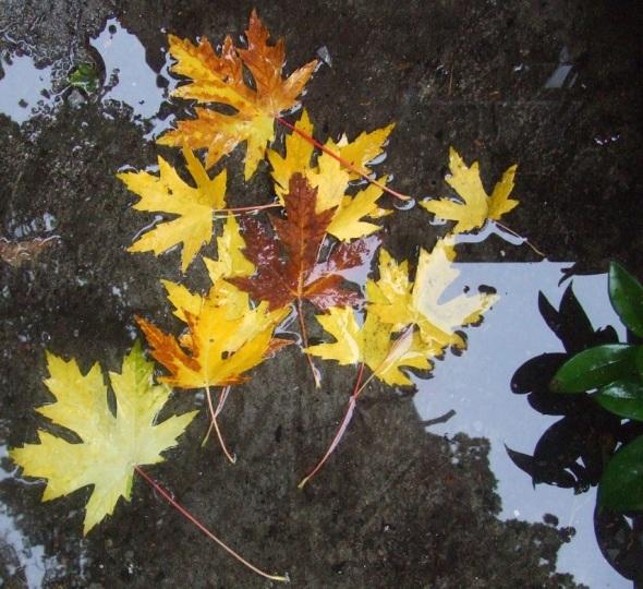 Hojas de otoño 1_octubre de 2013_Toronto