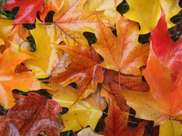 ZP_Hojas de otoño en Toronto