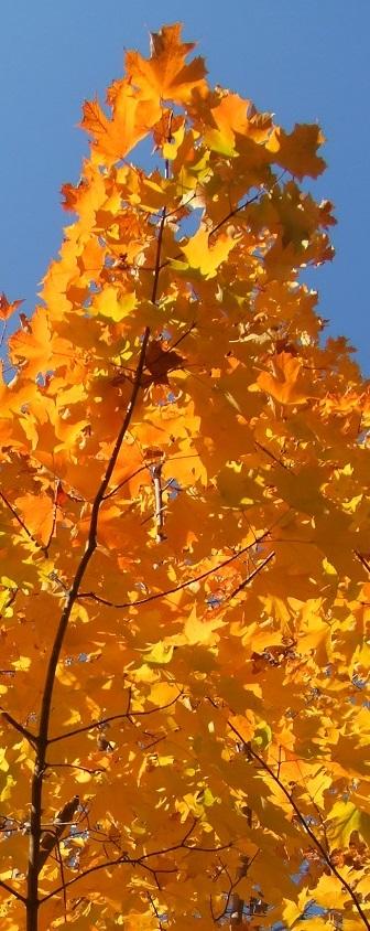 ZP_Hojas de otoño_Toronto_el 20 de octubre 2013