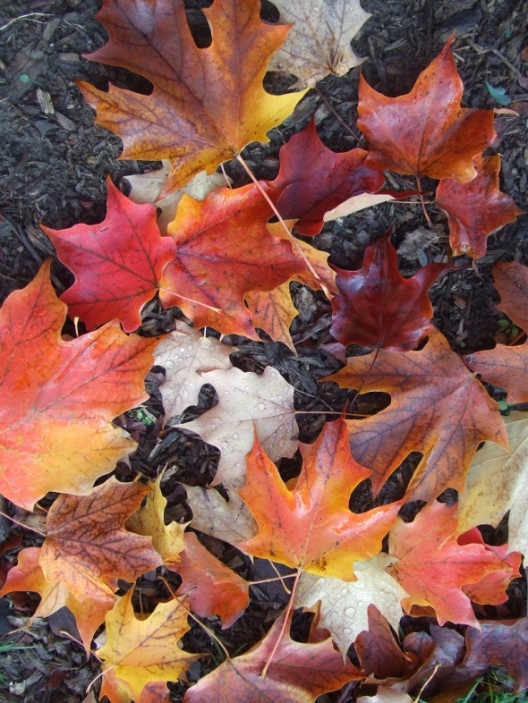 ZP_Hojas de otoño_Toronto_Octubre de 2013
