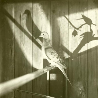 Jacob Cartwright and Nick Jordan_Where is that Vanished Bird? (The Passenger Pigeon)_photomontage, 2007