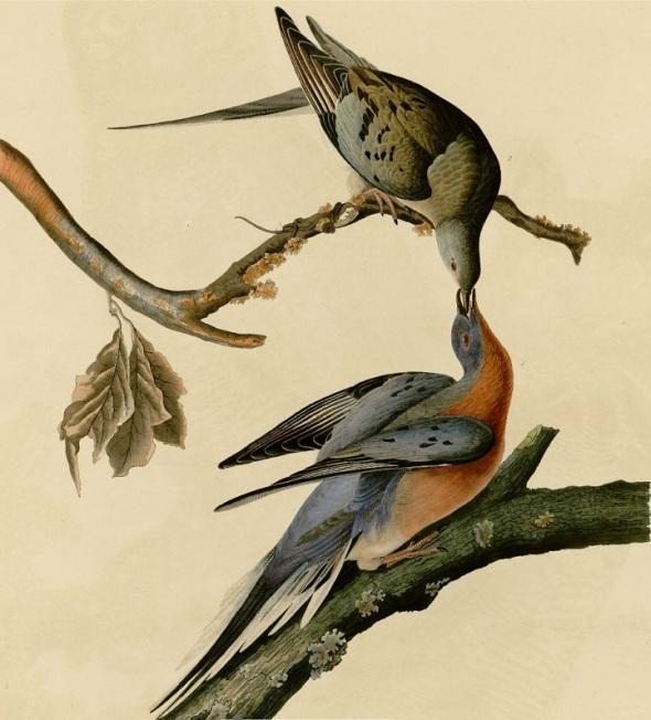 Passenger Pigeons by James John Audubon (1785-1851)