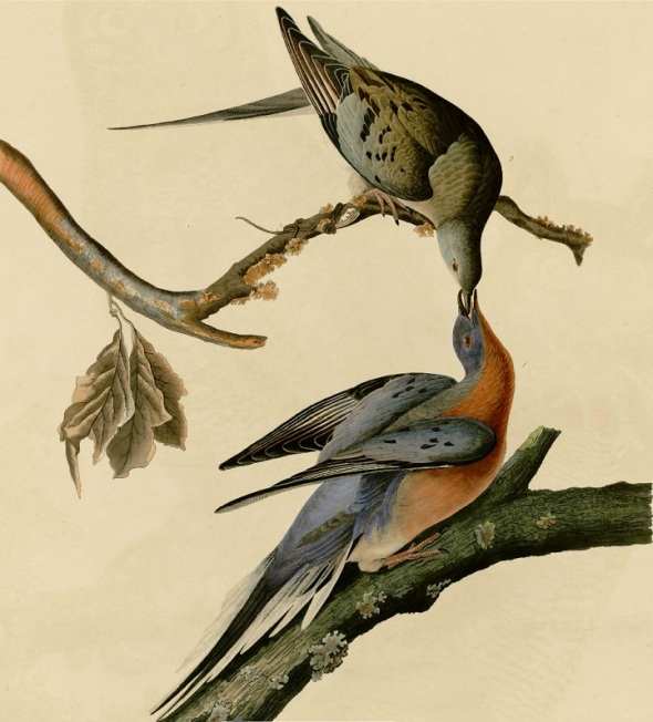 Passenger Pigeons by James John Audubon (1785-1851)