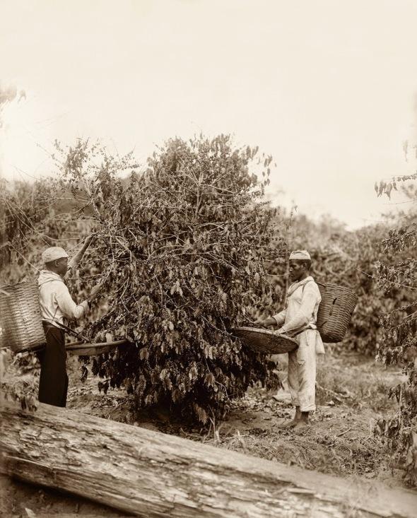 Escravos na colheita do café_Rio de Janeiro_1882