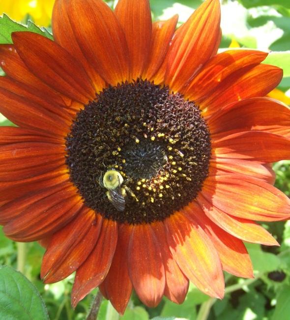 Girasol con abeja_Toronto Canadá_15.07.2014