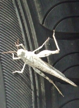 grasshopper on car tire_toronto canada