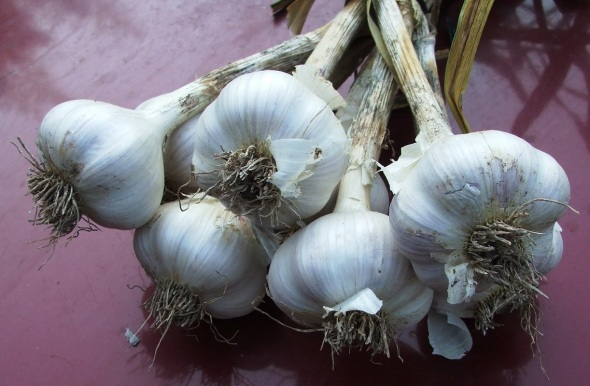 Hardneck garlic_photo via Penn State Hort Blog