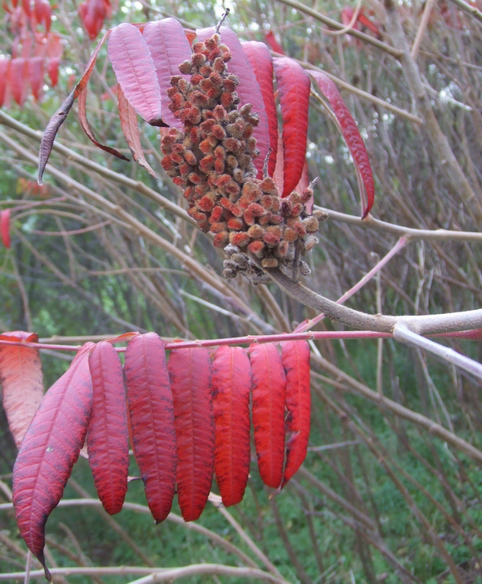 ZP_Sumac with ripe fruit_Autumn in Toronto