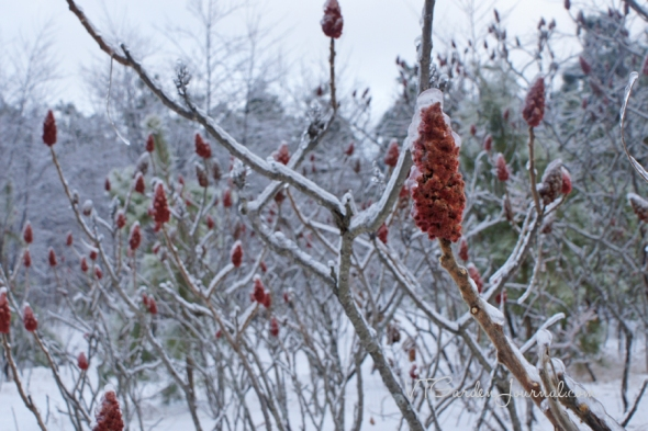 Zumaque canadiense durante el invierno_Sumac in winter_Canadá