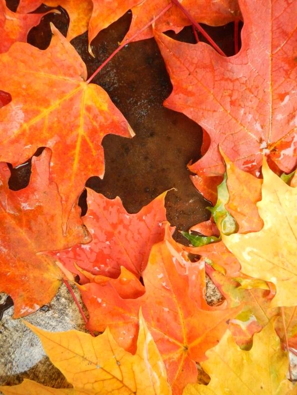 Feuilles dAutomne_octobre de 2014_Toronto
