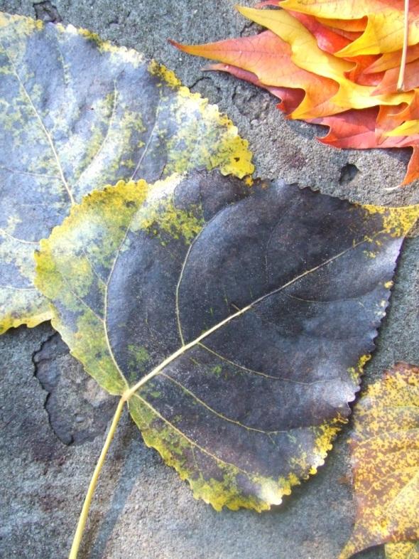 Hojas caídas y recolectadas_Toronto_Canadá_octubre de 2014