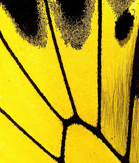 """Ala de una mariposa """"Troides Minos"""" en gran detalle_Derechos de autor_fotógrafo James Turner"""