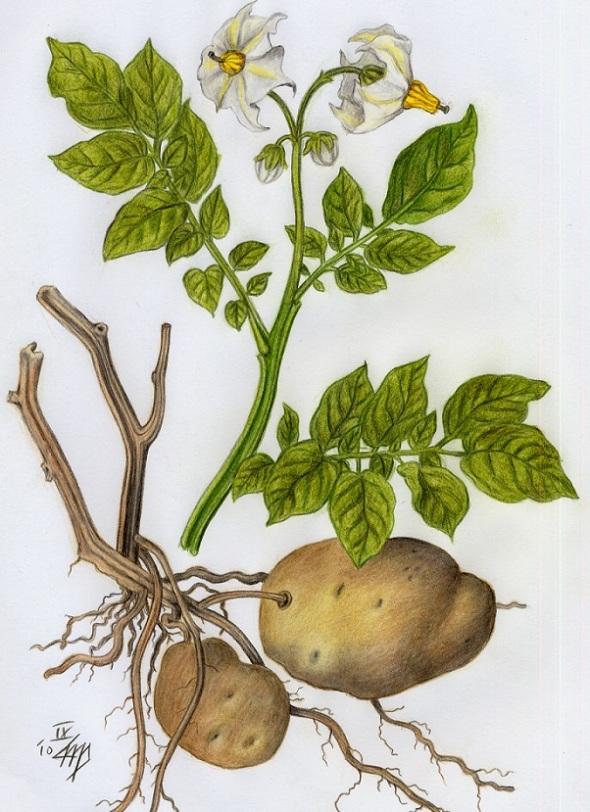 Dibujo botanico de una planta patata Solanum tuberosum_por Rosentod_ Potato botanical drawing by Rosentod
