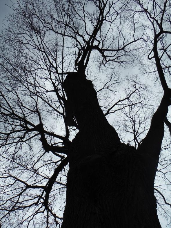 El arce sin hojas_22 de abril 2015