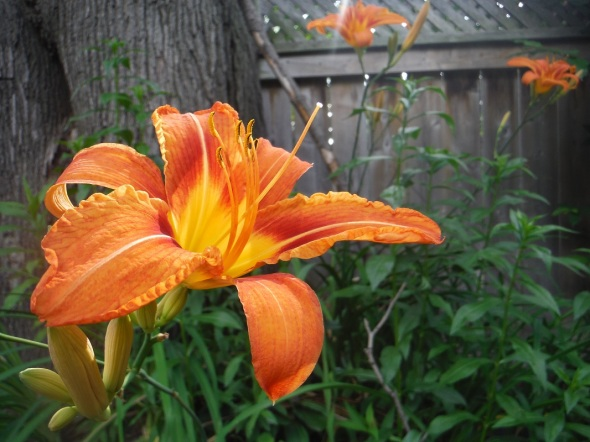 Day Lily 2_July 2015