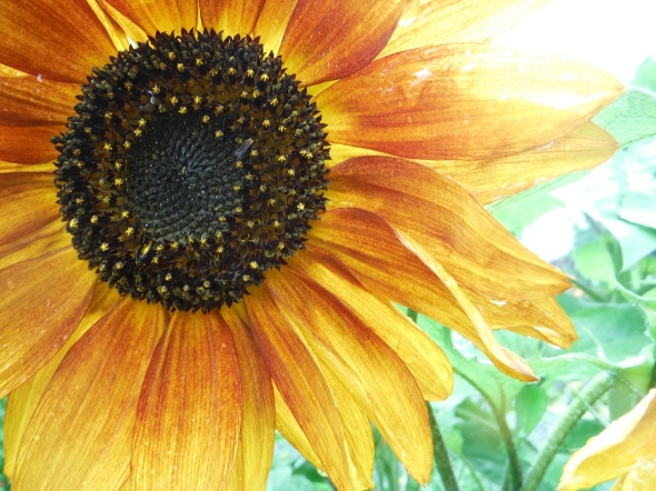 Sunflower in Toronto_Summer 2015
