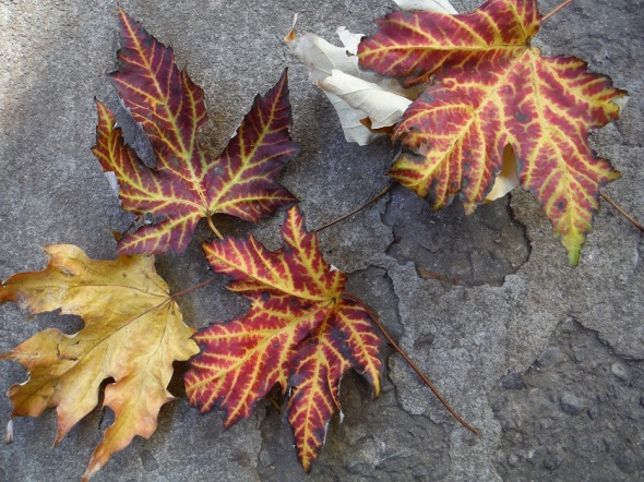 Autumn leaves in Toronto_October 30th 2015