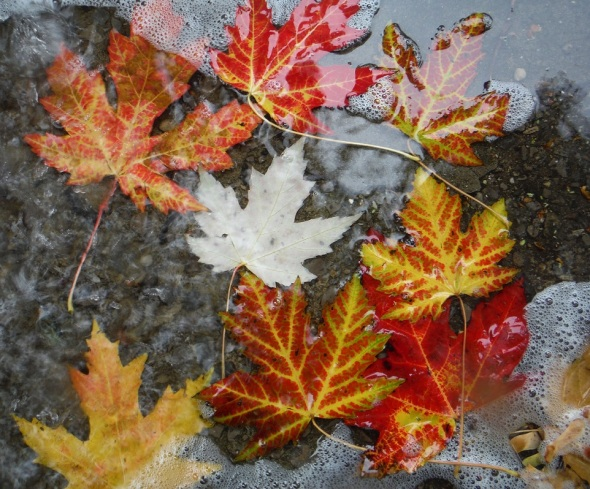 Fallen Leaves in the rain_October 24th 2015_Toronto