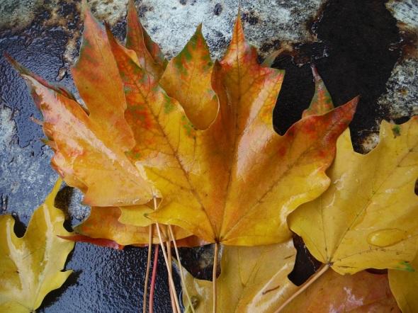 Hojas del otoño_9 de octubre 2015_Toronto