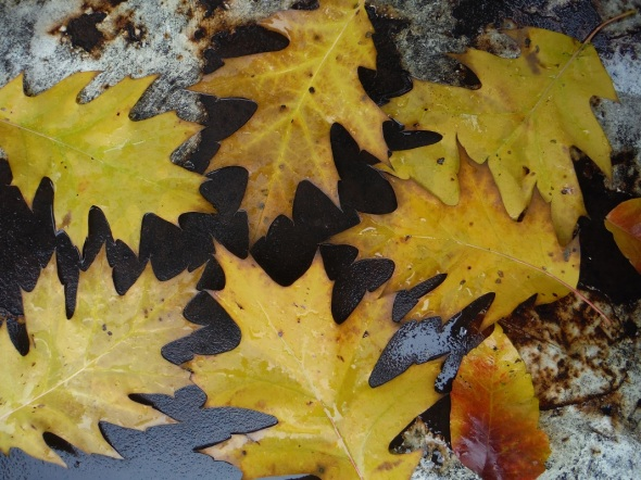 Yellow oak leaves_2015_October in Toronto