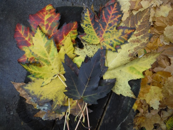 Autumn maple leaves_Toronto_November 6th 2015