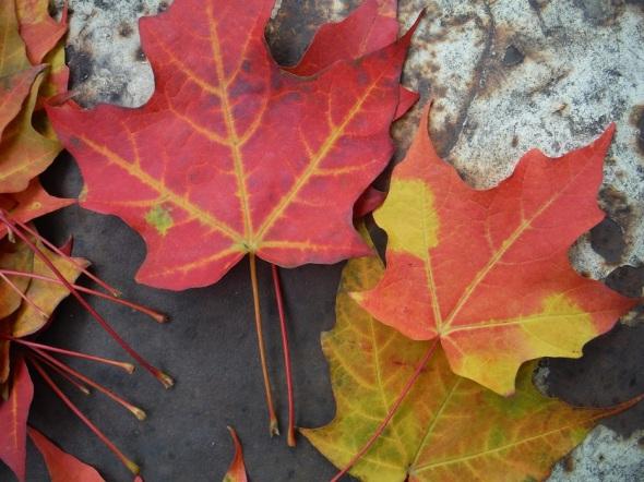 ZP_hojas de arce en octubre_Toronto 2015
