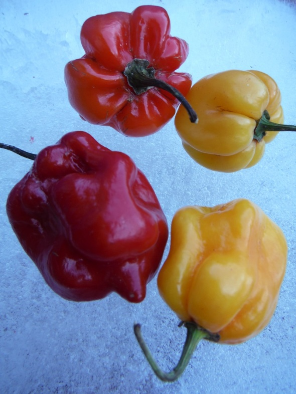 Scotch Bonnet Peppers on Ice_B_February 2016