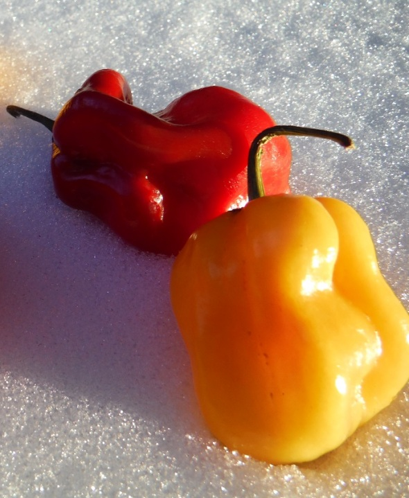 Scotch Bonnet Peppers on Snow_February 2016