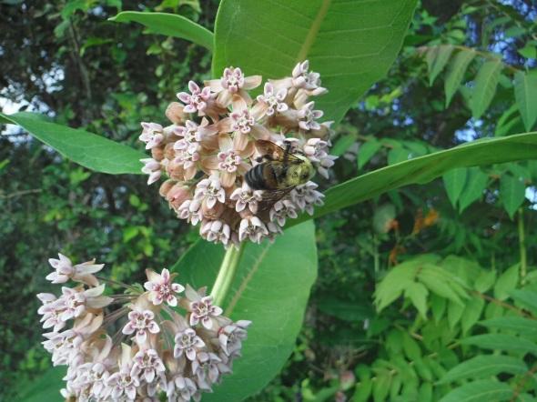Milkweed and bumblebee_Ward's Island, Toronto