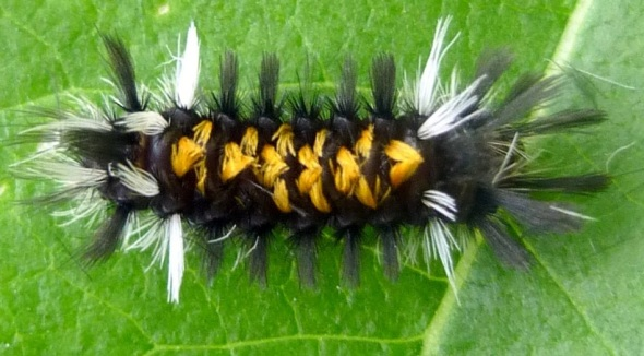 A milkweed tussock moth caterpillar a.k.a. Euchaetes egle_photo copyright New Hampshire Garden Solutions