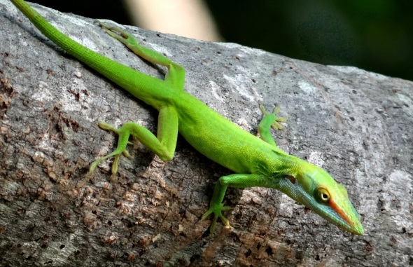 "Photograph of a small Cuban lizard...a ""caguayo"" of the species ""anole"""