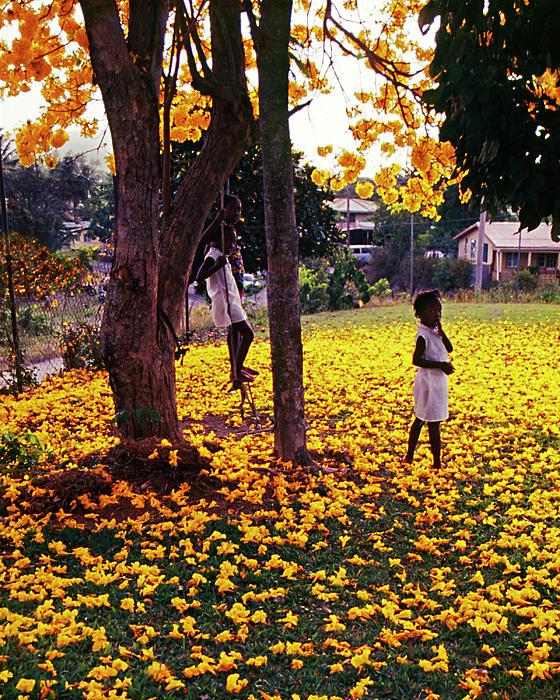 Niños jugando bajo de un guayacán o árbol tabebuia © fotógrafo santalucence Chester Williams__ Children playing beneath a yellow Poui tree_photograph © Saint Lucian photographer Chester Williams