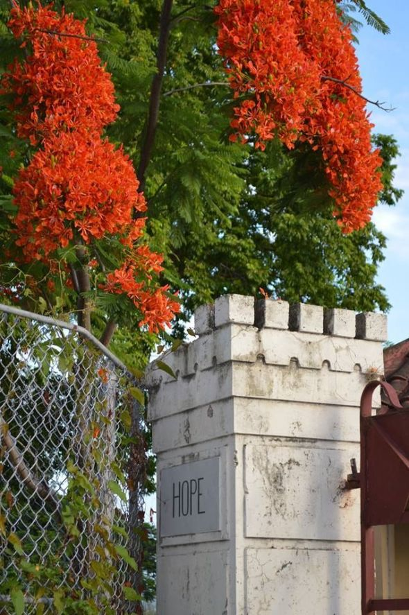 Poinciana tree in bloom_Hope Gardens_Kingston_Jamaica