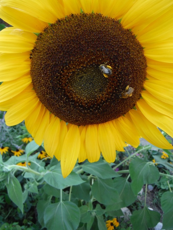 Sunflower with bees_Toronto Ontario Canada_August 2016